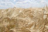 «НІБУЛОН» має  чинний сертифікат ISCC PLUS для експорту  ячменю  на кормові потреби